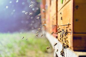 Jad pszczeli hamuje wzrost komórek bardzo agresywnego raka