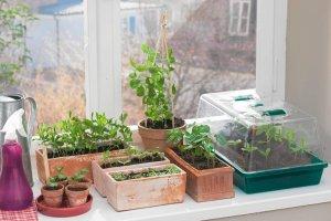 Czas na siew balkonowych roślin