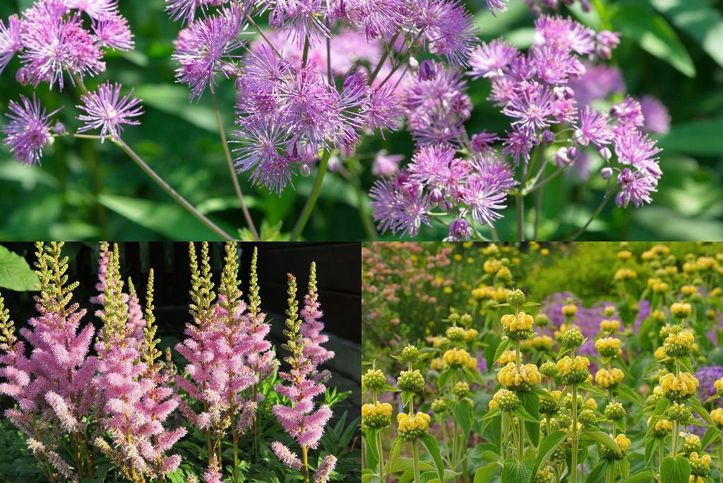 kwiaty wieloletnie - rutewka orlikolistna, tawułka arenda, żeleźniak żółty