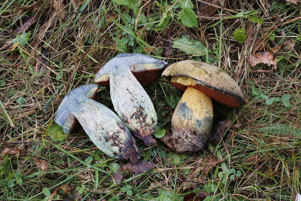 Siniak to potoczna nazwa borowika ponurego.