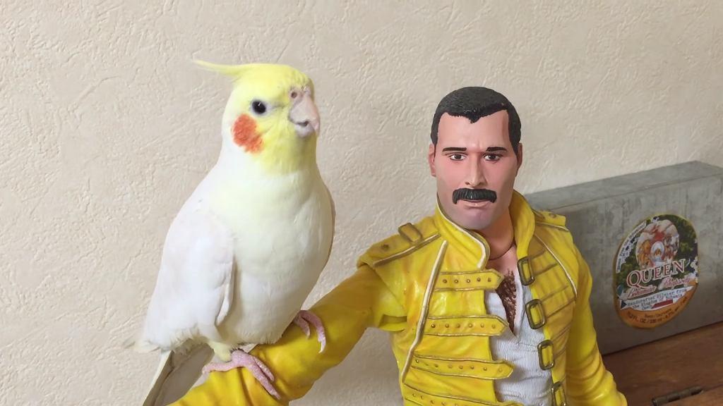 Papuga śpiewa Queen na ramieniu Freddiego Mercury'ego