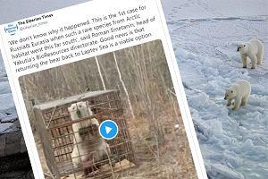 """Z Arktyki w głąb Rosji. Samotna wędrówka niedźwiedzicy. """"Ogromny wyczyn"""""""