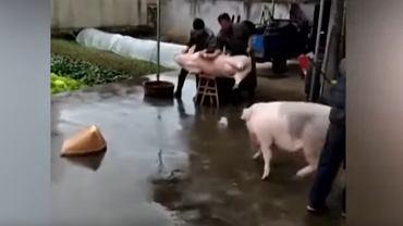 Świnia chciała uratować koleżankę przed zarżnięciem