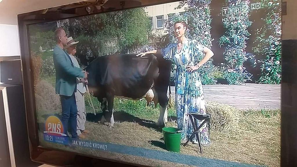 Krowa w 'Pytaniu na Śniadanie'