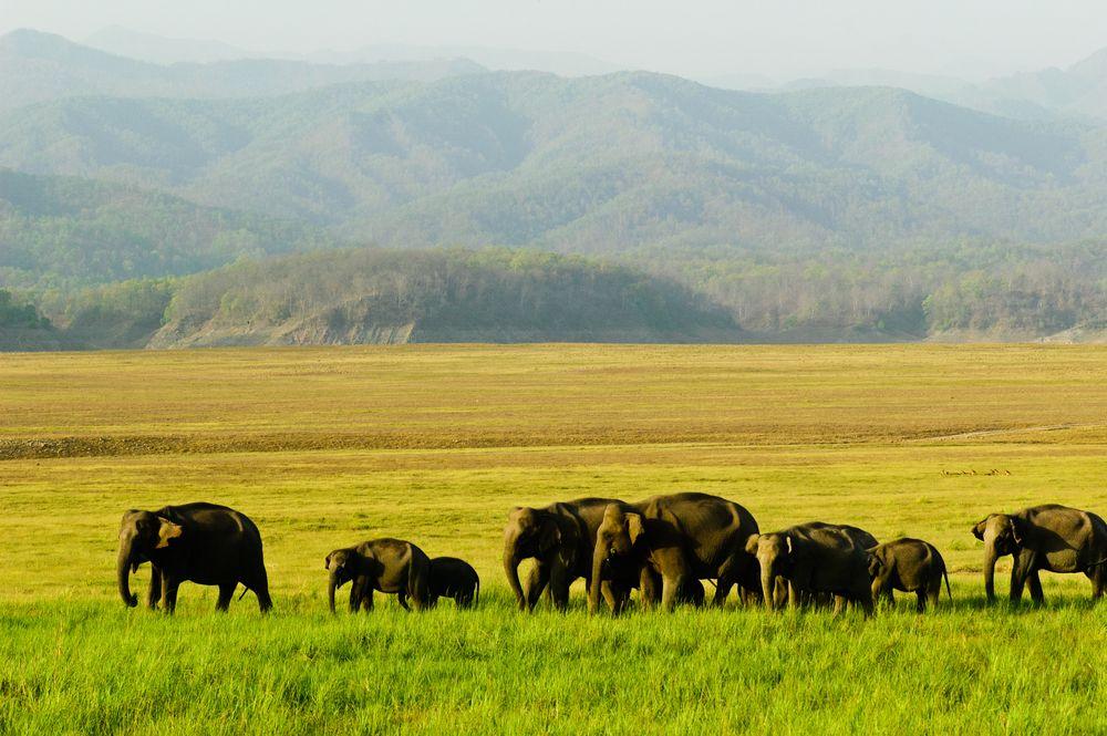 Słonie indyjskie na sawannie. Park Narodowy Corbetta, Indie / fot. Shutterstock