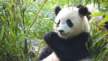 Rezerwat pand w Chengdu