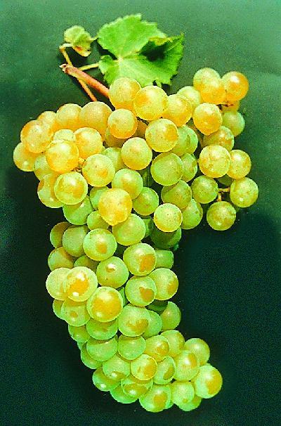Winorośl na balkonie