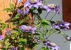 Rośliny kwitnące dwukrotnie w ciągu roku