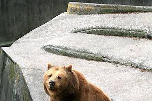 Niedźwiedź w warszawskim Zoo