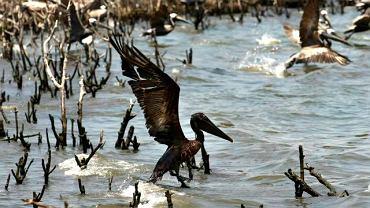 Ubrudzony ropą pelikan