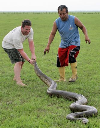 Polowanie na anakondy w Los Llanos.