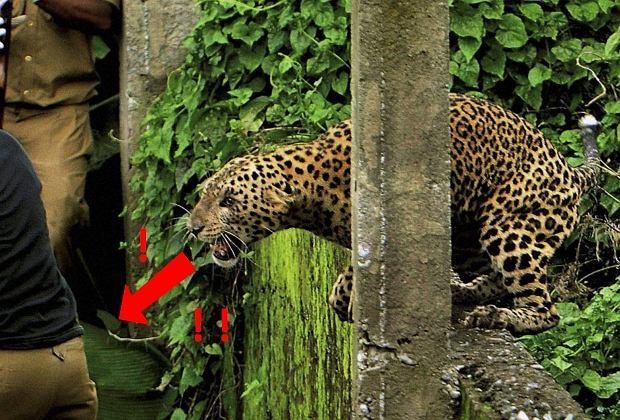 Lampart (znany też jako pantera) zaskoczył jednego ze strażników leśnych w Indiach. Szykował się do skoku tuż za jego plecami.