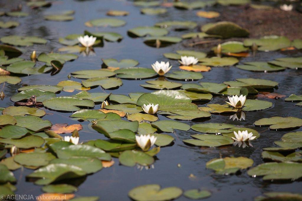 Na jeziorze rośnie dużo grzybieni białych, nazywanych też liliami wodnymi i nenufarami.