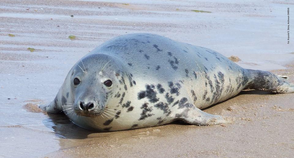 486d3f8dadab6a Foki: psy morza czy wilki morskie