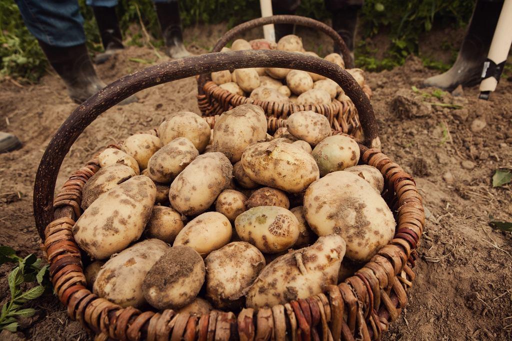 Do wytworzenia jednej butelki wódki zużywa się około pięćdziesiąt młodych ziemniaków.