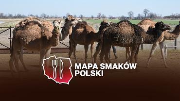 Wielbłądzia Farma państwa Szymańskich znajduje się w miejscowości Sanie koło Żmigrodu
