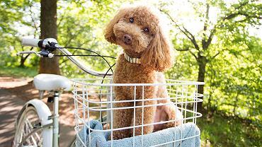 pies w koszyku