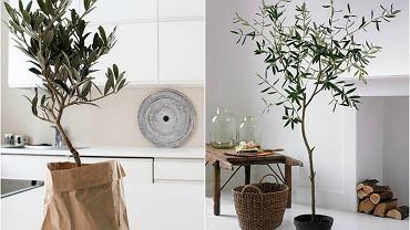 Najmodniejsza roślina domowa sezonu - drzewko oliwne