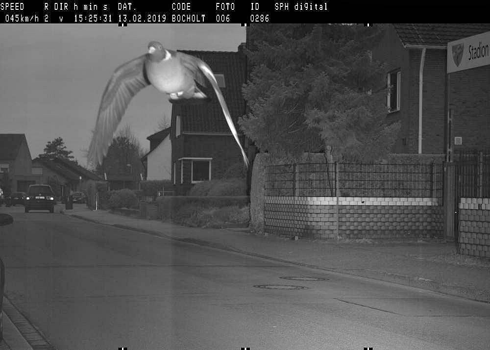 Niemcy, Bocholt. Gołąb został sfotografowany przed radar, bo przekroczył dozwoloną prędkość