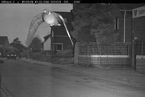 """Niemcy: gołąb został """"złapany"""" przez fotoradar na przekroczeniu prędkości. Pędził 45 km/h"""