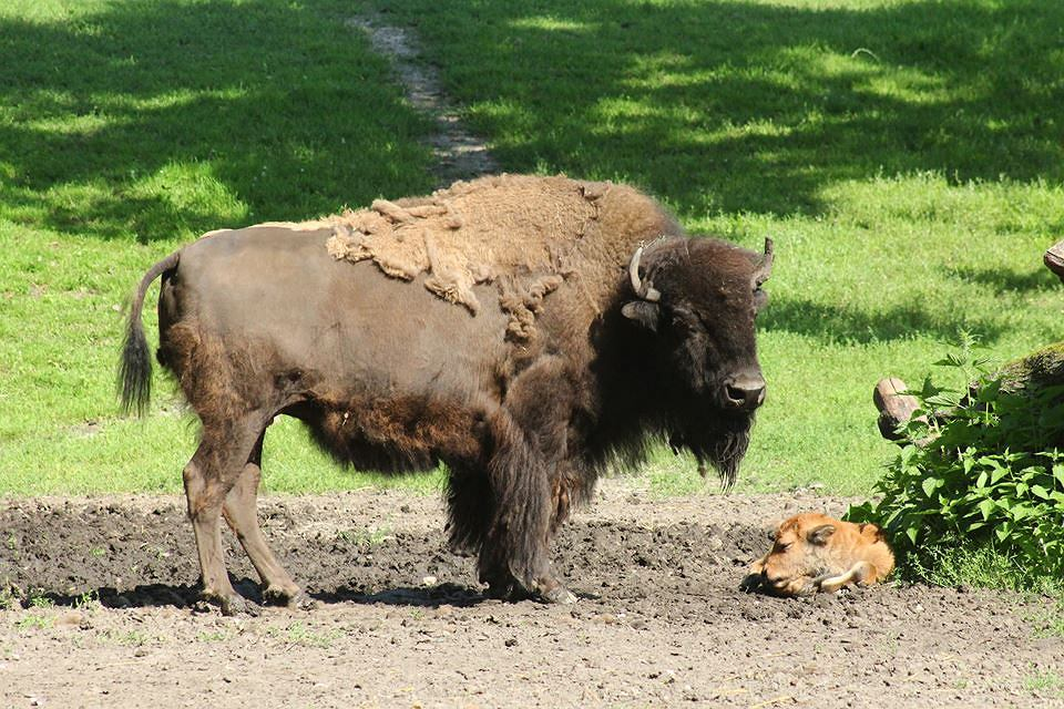 Nowo narodzony bizon