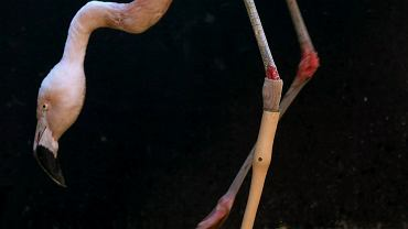 Flaming z protezą