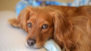 red english spaniel portrait at home