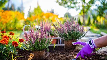 Jesienne kwiaty to przede wszystkim rośliny, które kwitną we wrześniu. Zdjęcie ilustracyjne