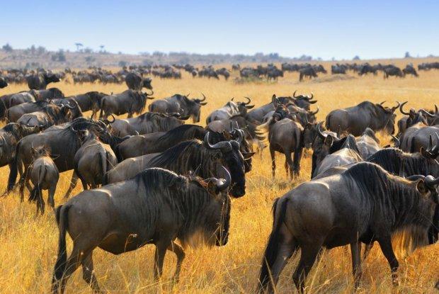 Antylopy gnu, park Masai Mara/ Fot. Shutterstock