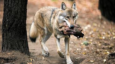 Wilk (zdjęcie ilustracyjne)