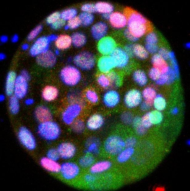 Ludzki zarodek z widoczną ekspresją badanych genów