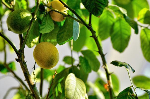 Może minąć nawet kilkanaście lat, zanim drzewko zakwitnie i wyda owoce.