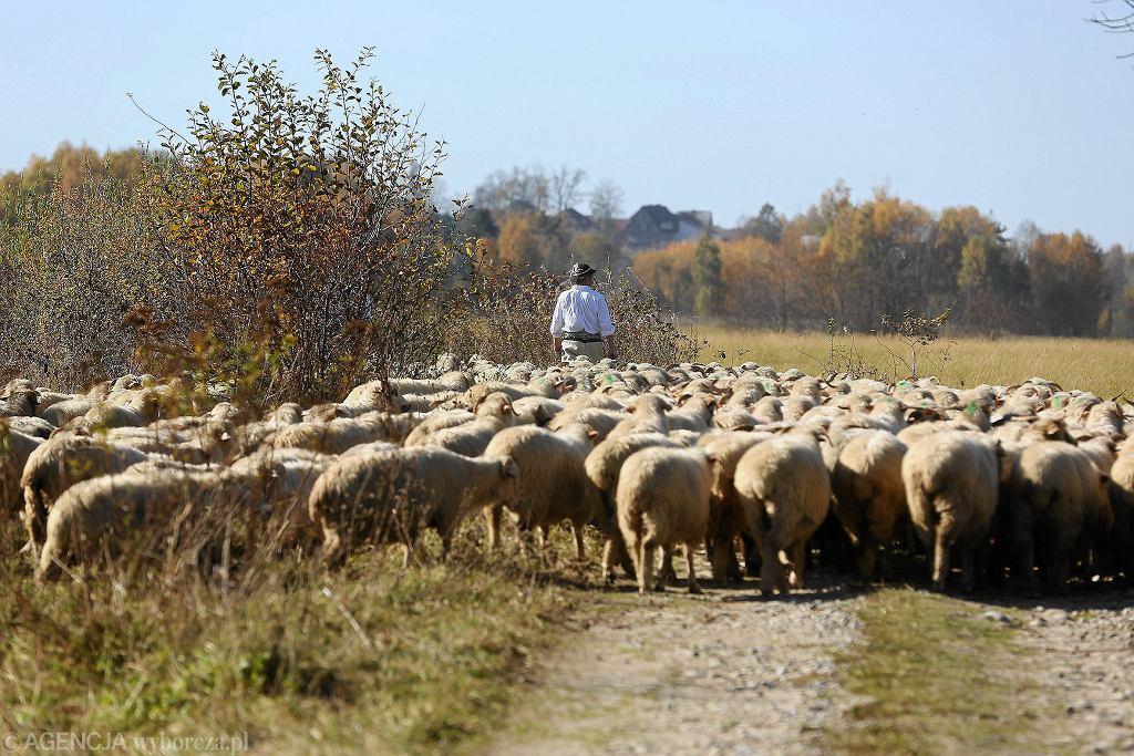 Baca wypasający owce (zdjęcie ilustracyjne)