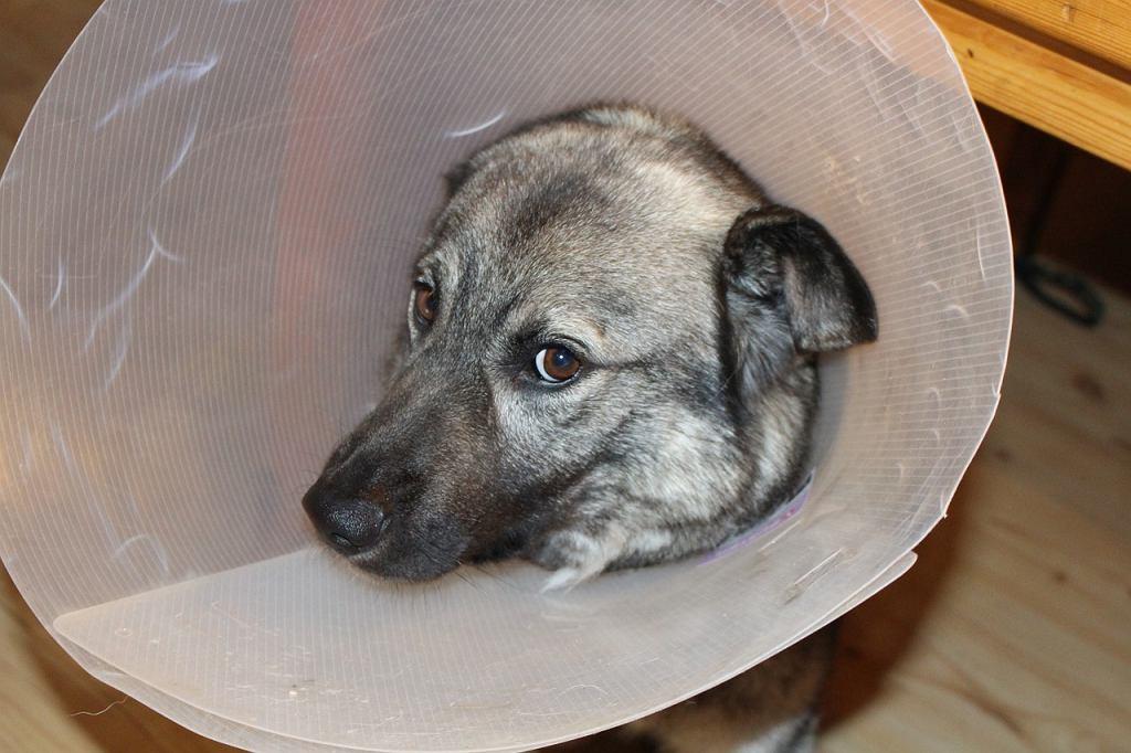 Pies po operacji. Zdjęcie ilustracyjne
