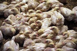 Mięso z kurczaka jest pożywne, bardzo tanie i uchodzi za zdrowe. A co, jeśli wcale takie nie jest?