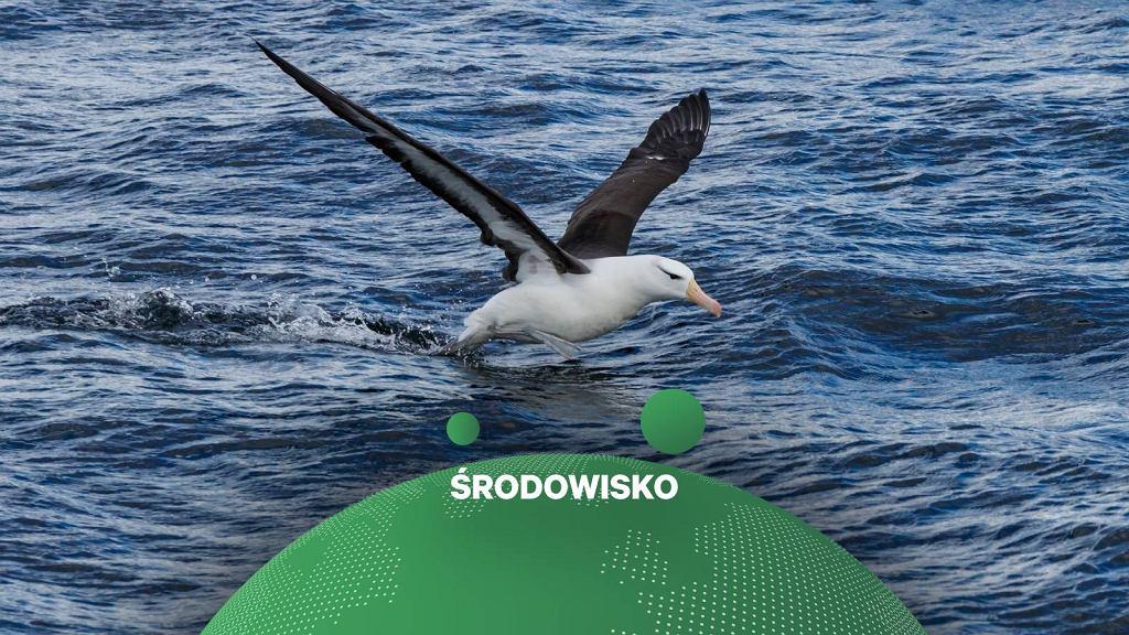 Albatros / zdjęcie ilustracyjne