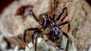 W Australii znaleziono 37 nowych gatunków pająków. Oto Belzebub