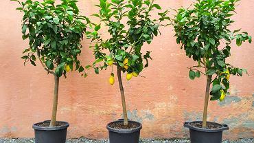 Choć cytryny to owoce, które sprowadza się do Polski z krajów egzotycznych, można je uprawiać również we własnym domu.