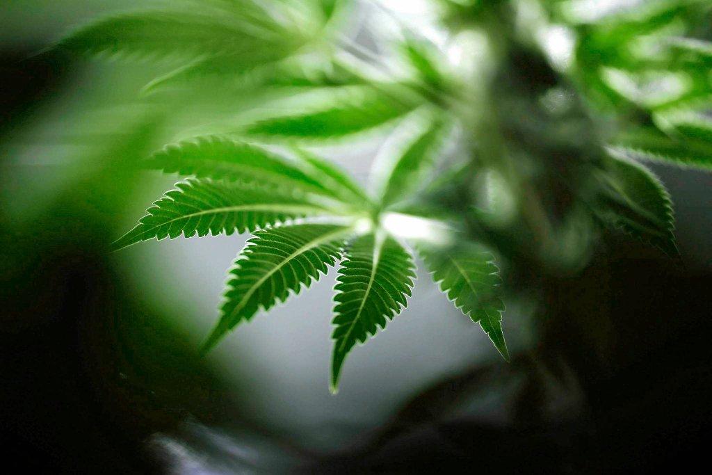 Krzew marihuany