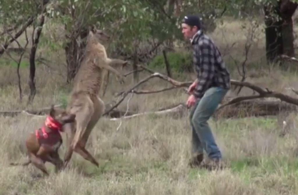 Wojowniczy kangur