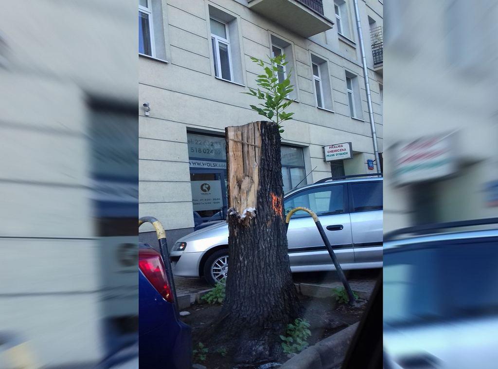Drzewo z ulicy Wolskiej