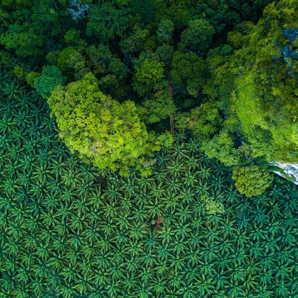 Masowa produkcja oleju palmowego zagraża bioróżnorodności