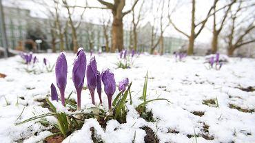 Wiosna tuż tuż? Na razie śnieg i krokusy w Szczecinie