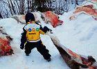 Norwegia: przedszkolaki, krew na śniegu i renifery na hakach. Bo kotlety nie rosną w sklepowych lodówkach