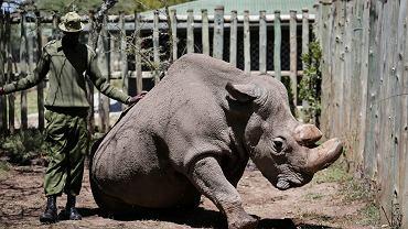Sudan, ostatni na świecie biały nosorożec północny, został uśpiony - po 'powikłaniach związanych z zaawansowanym wiekiem'. Rezerwat Ol Pejeta w okręgu Laikipia, Kenia. Zdjęcie z 3 maja 2017