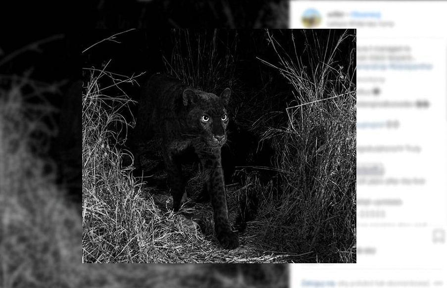 Zdjęcie czarnego leoparda.