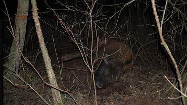 Martwy żubr w Puszczy Białowieskiej