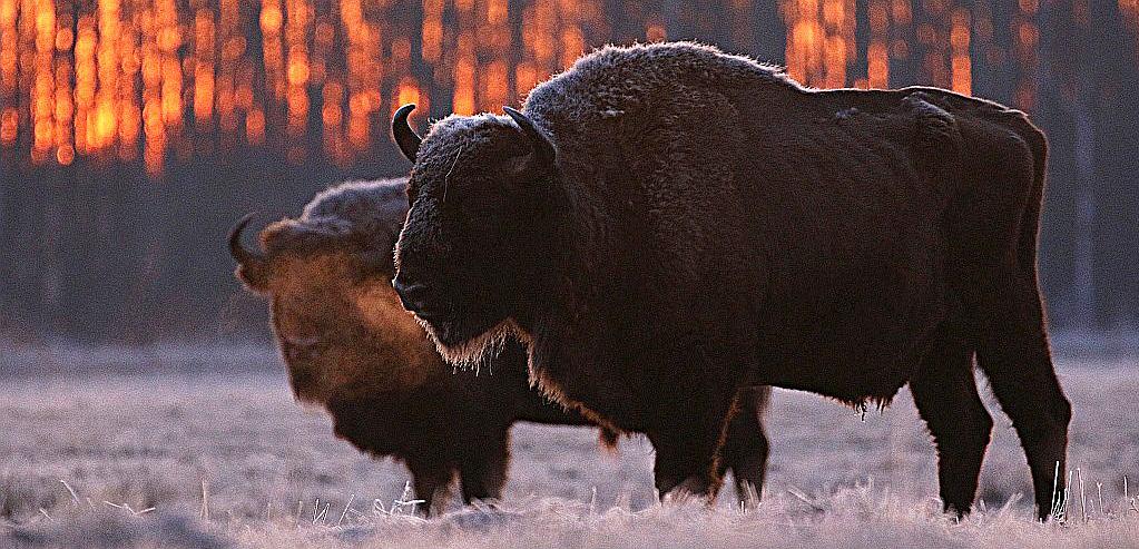 Byki o wschodzie słońca w okolicach Białowieży.