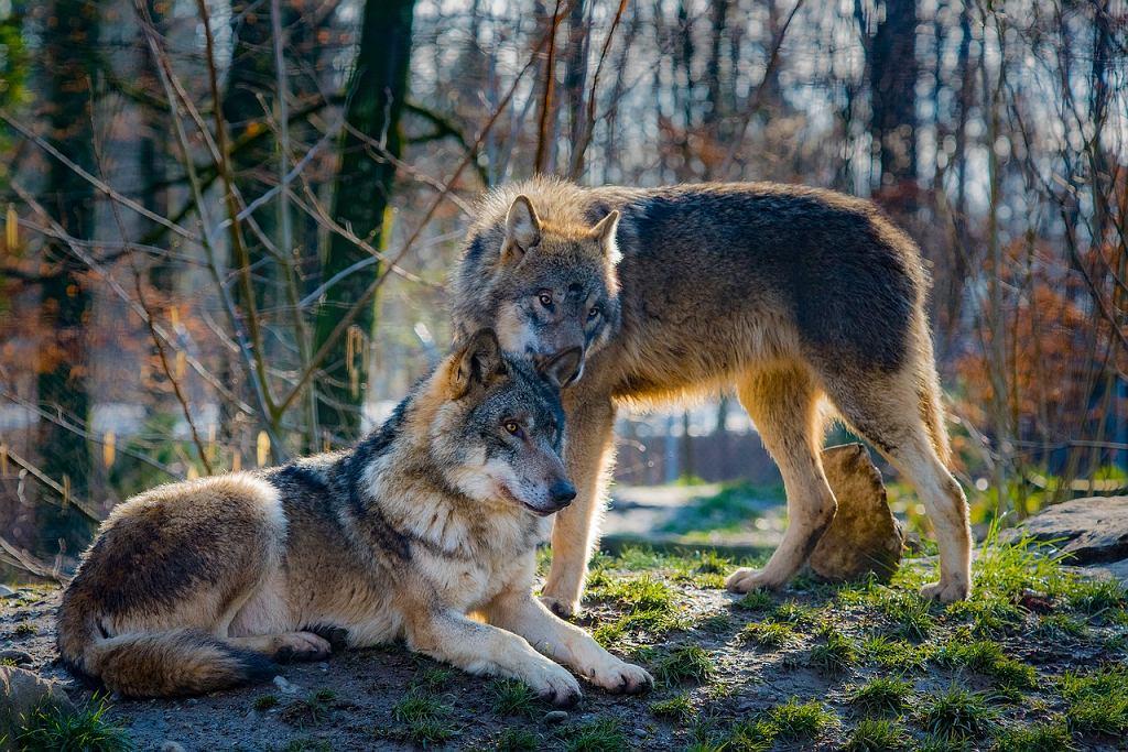 Sennik - wilki. Co oznacza sen o wilkach? Zdjęcie ilustracyjne