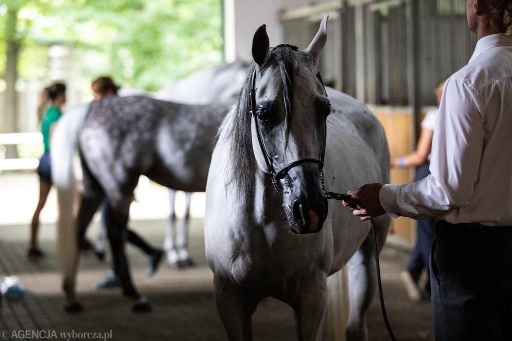 Przygotowania koni do aukcji Pride Of Poland w ramach 42. Narodowego Pokazu Koni Arabskich Czystej Krwi. Janów Podlaski, 9 sierpnia 2020